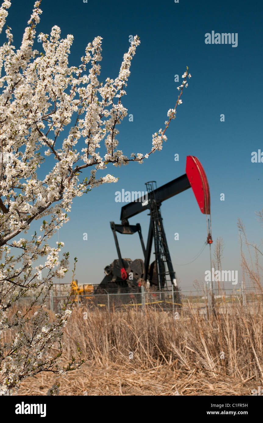 Oil well and fruit tree blossoms in San Joaquin Valley near Bakersfield California USA - Stock Image