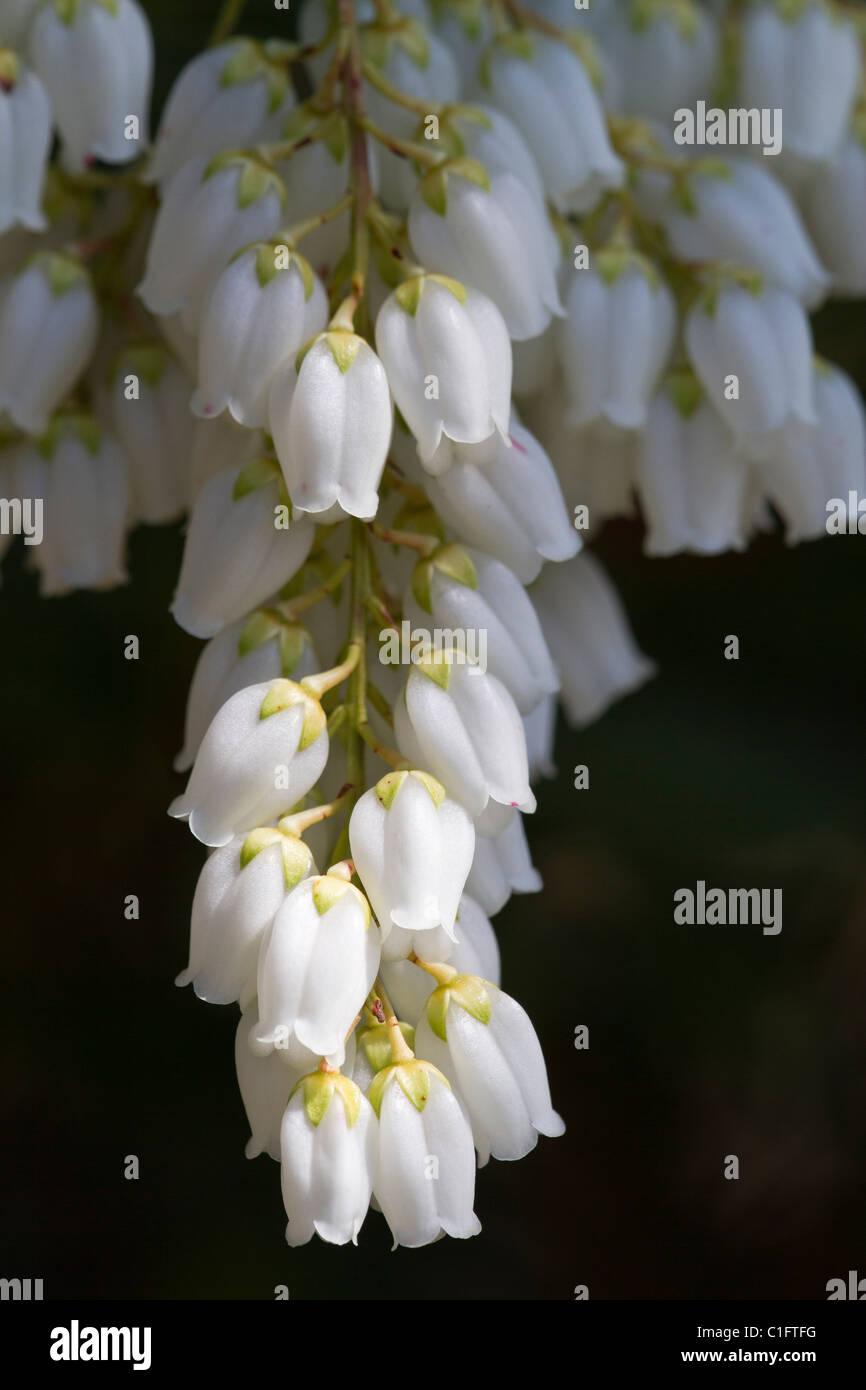 Pieris Japonica Little Bell Flowers Macro Close Up White On Dark