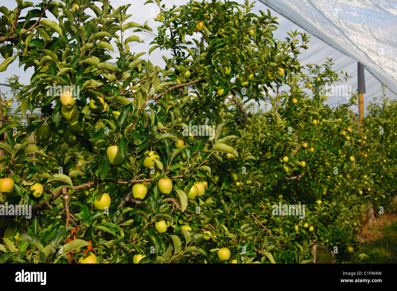 Unripe Apples On Espalier Trees Of An Apple Tree Plantation