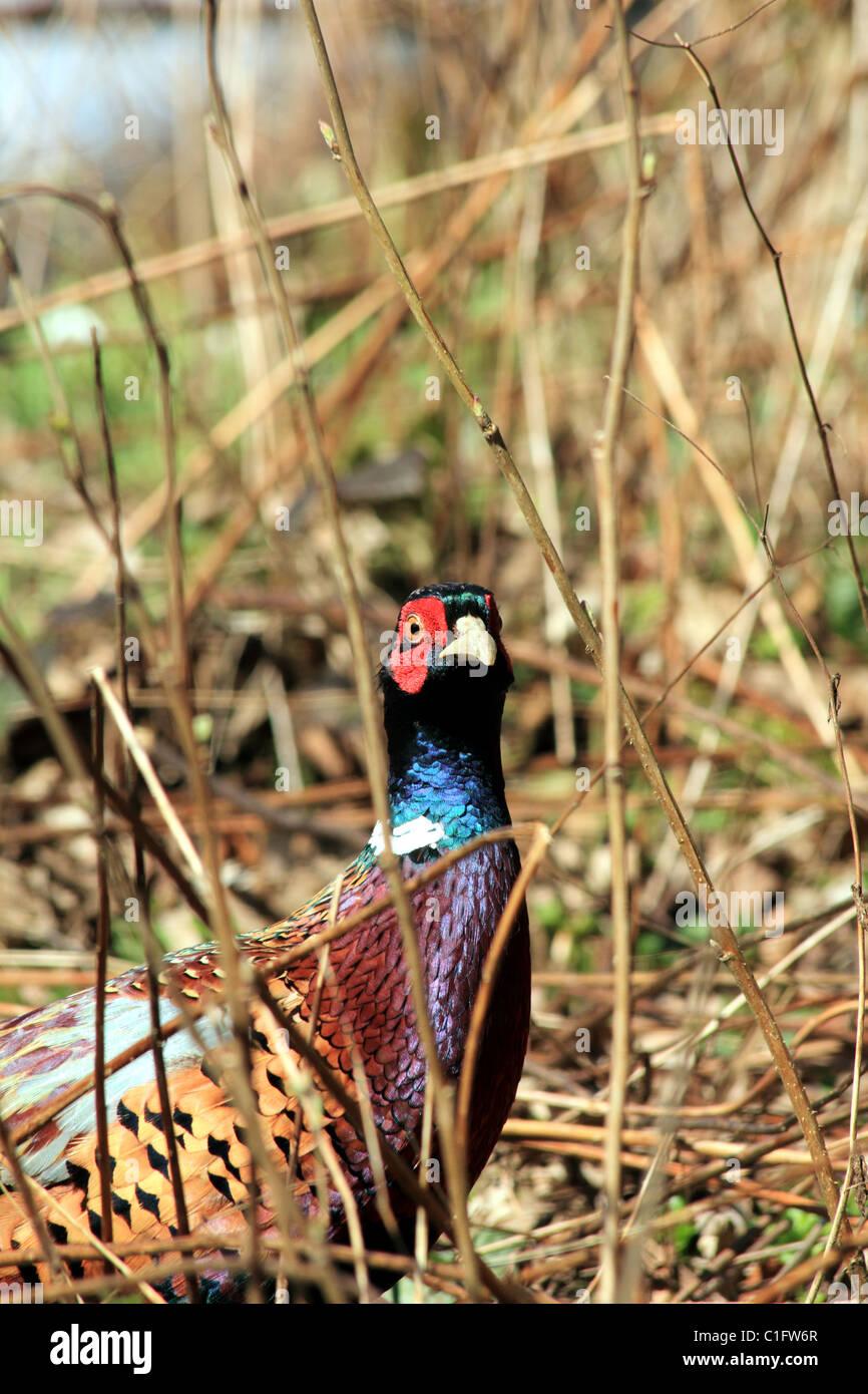 Common Pheasant Phasianus colchicus Family: Phasianidae - Stock Image
