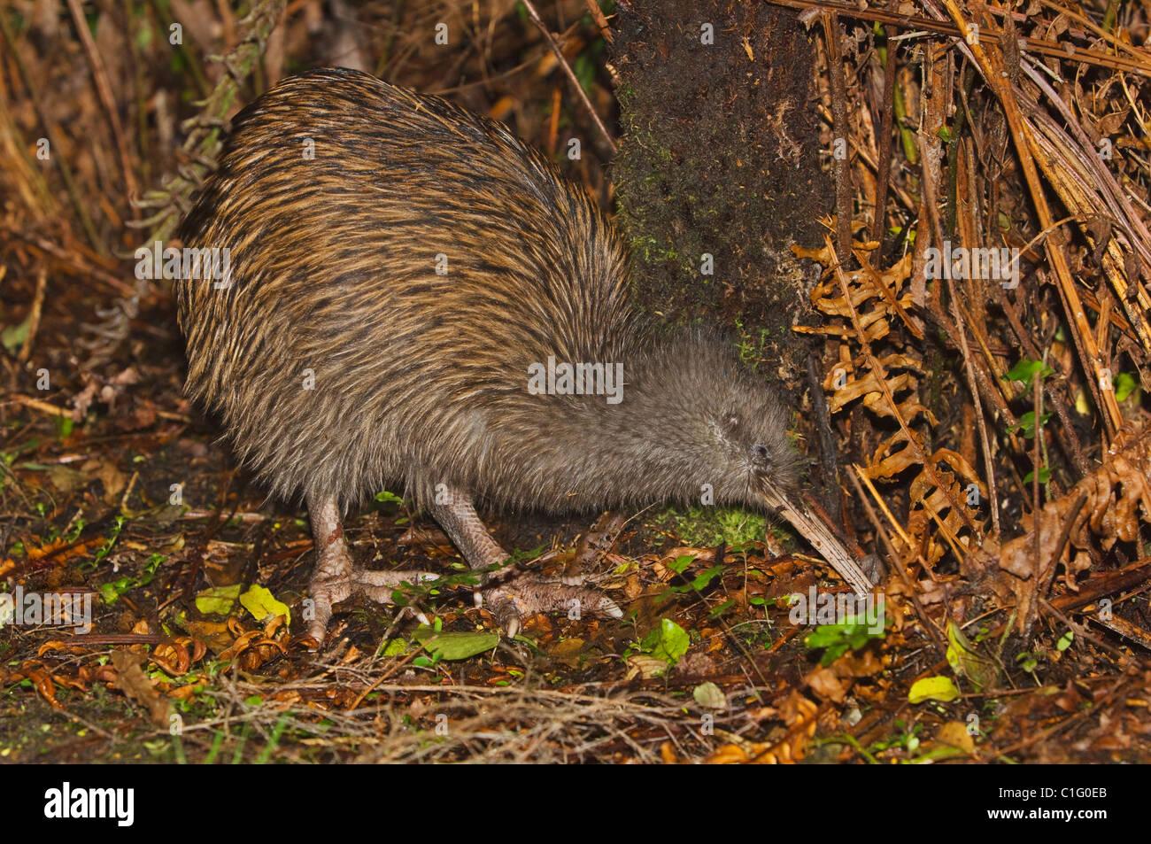 South Island brown kiwi (Apteryx australis), Stewart Island, New Zealand. - Stock Image