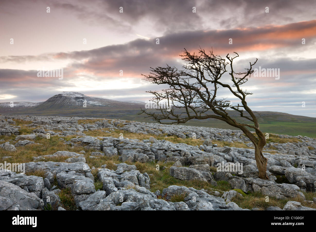 Snow capped Ingleborough and wind blown hawthorn tree on limestone pavements on Twistleton Scar, Yorkshire Dales - Stock Image