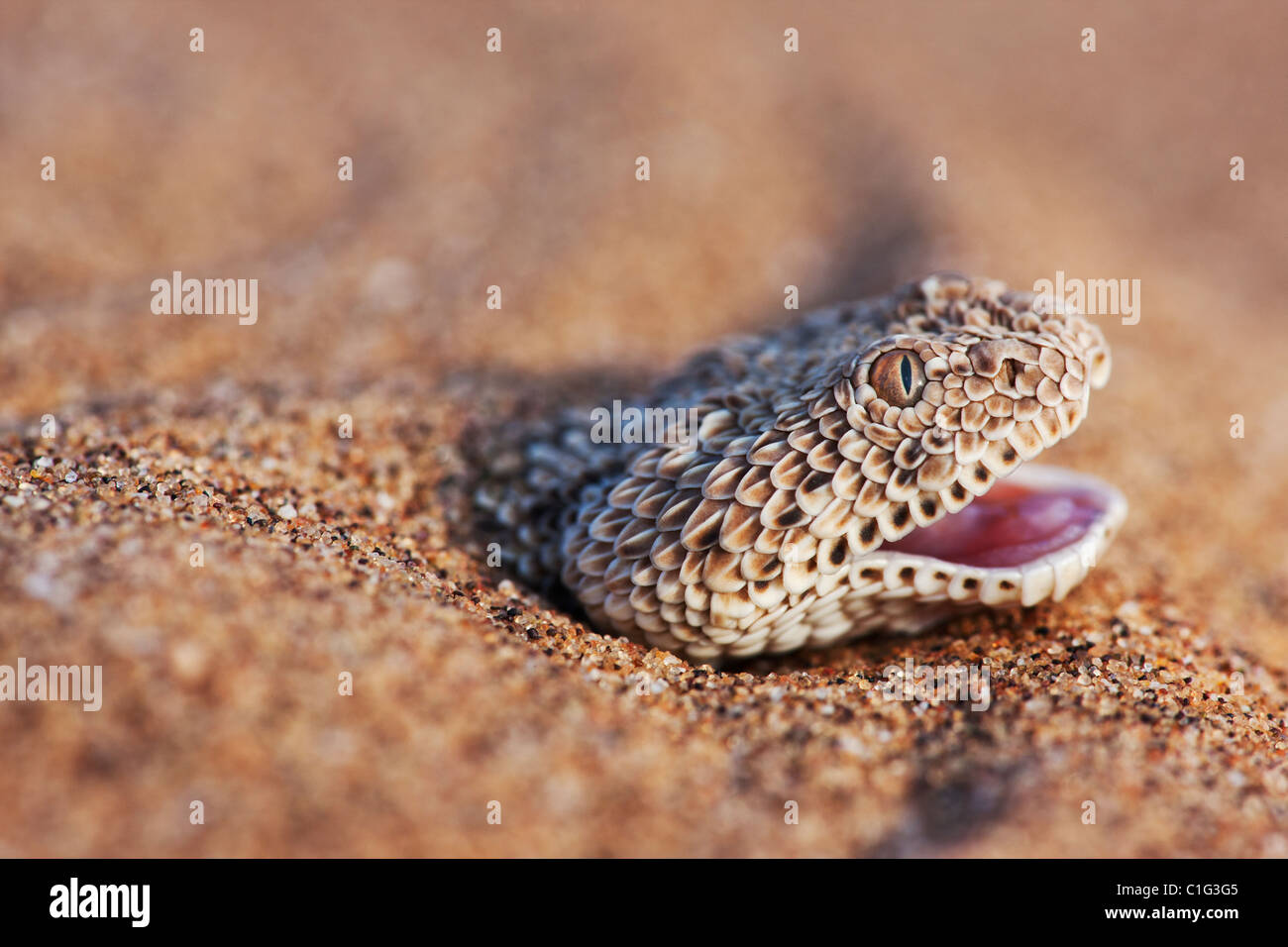 The Sidewinder Adder (Bitis peringueyi) is a venomous viper species in the Namib desert - Stock Image