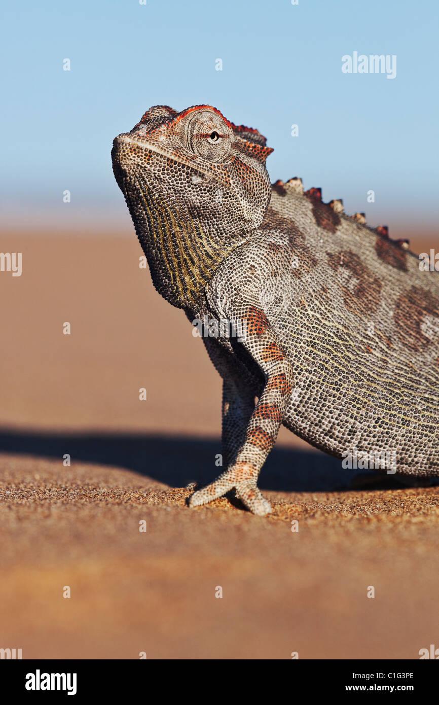 Namaqua Chameleon (Chamaeleo namaquensis) whose habitat consist of sandy areas of the Namib desert - Stock Image