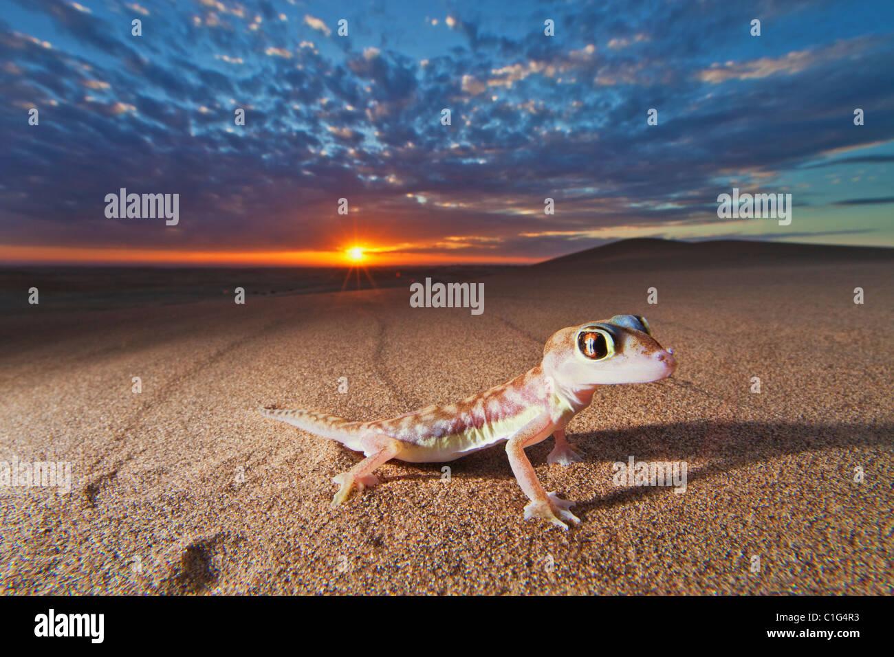 Web-footed Gecko (Palmatogecko rangei) found in the coastal Namib Desert Namibia Stock Photo