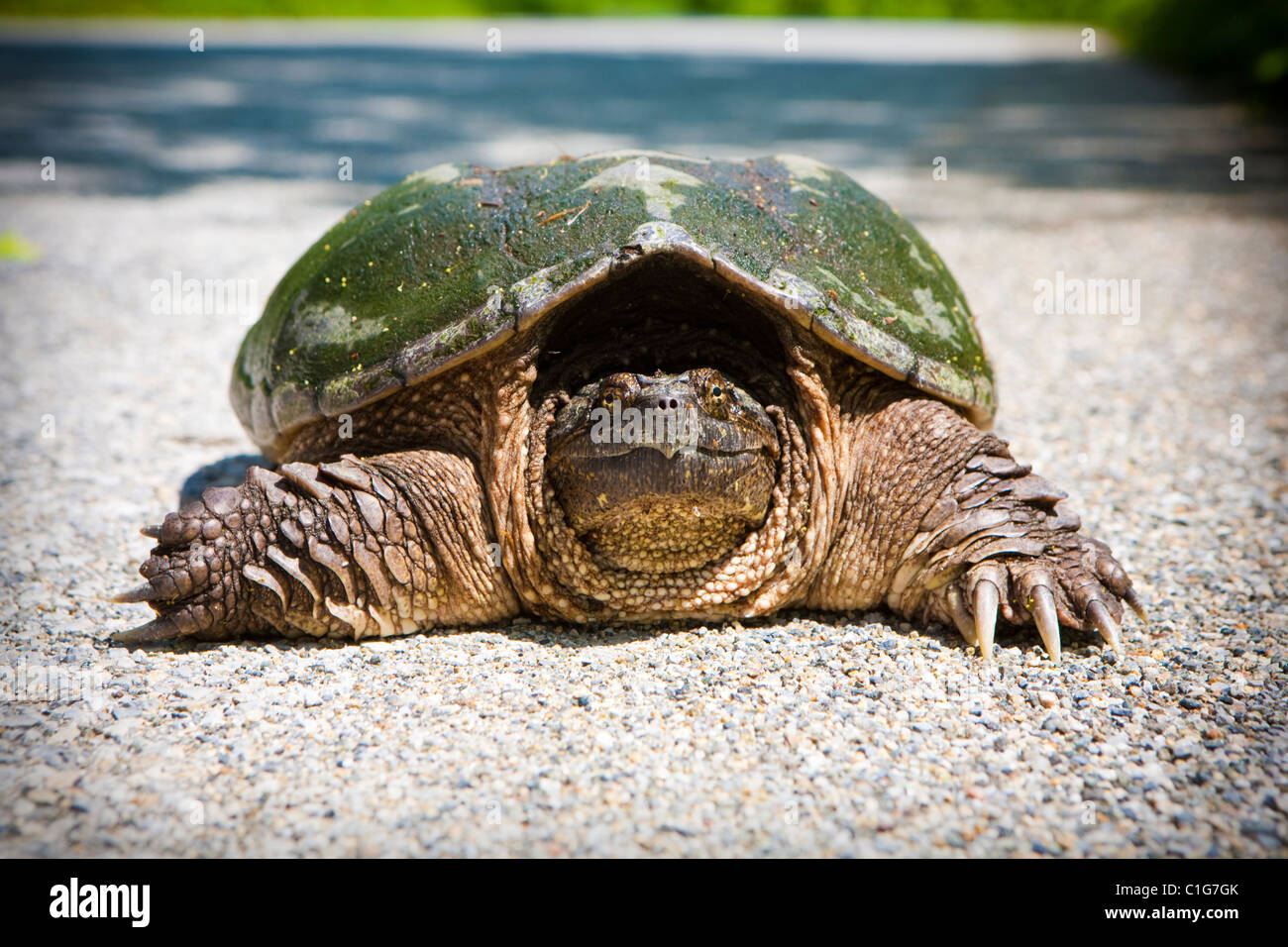 A large snapper turtle seen on the road of Stokes Forest, NJ, USA Stock Photo