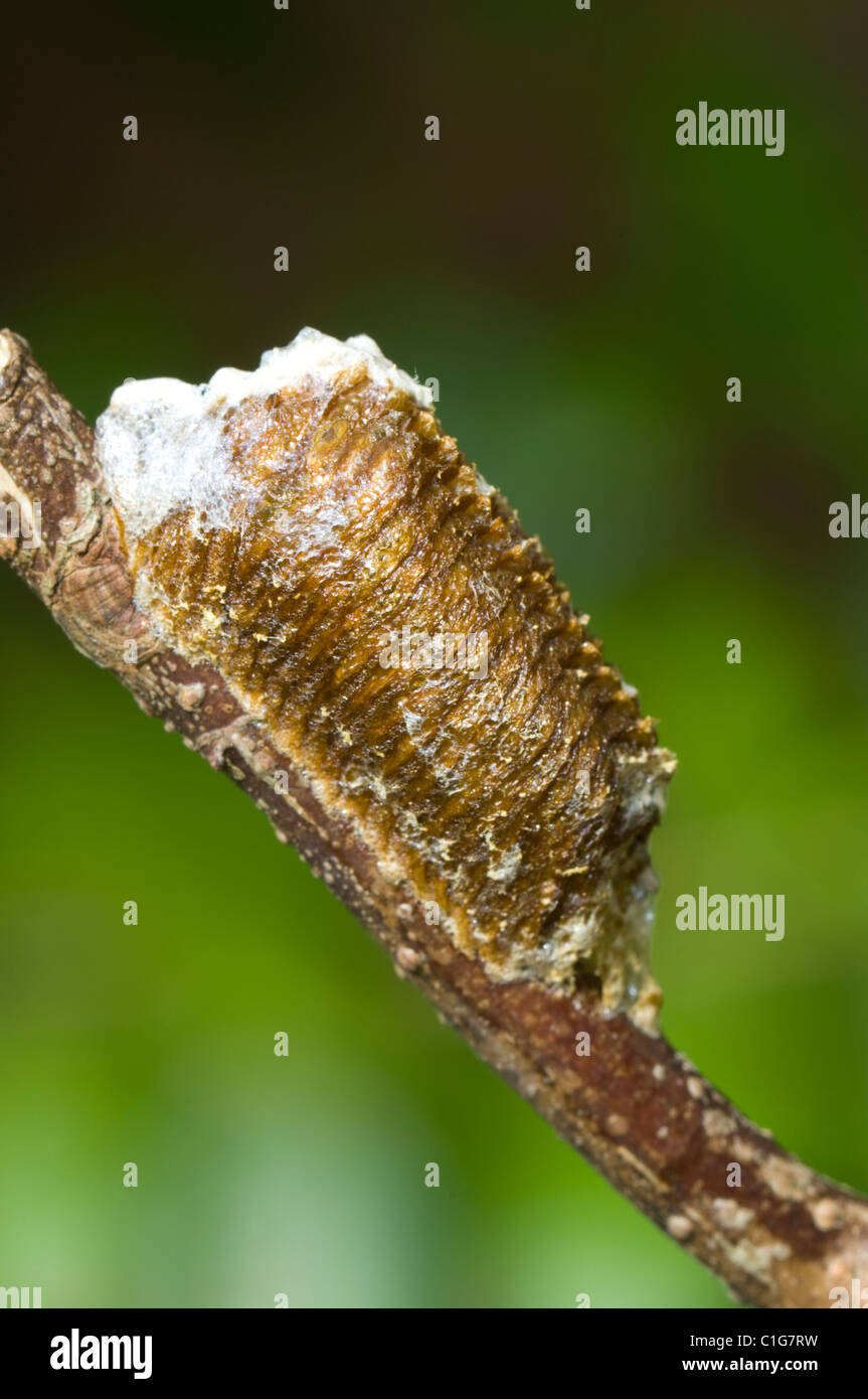 Egg Case Ootheca Of Praying Mantis Stagmomantis Theophila Stock