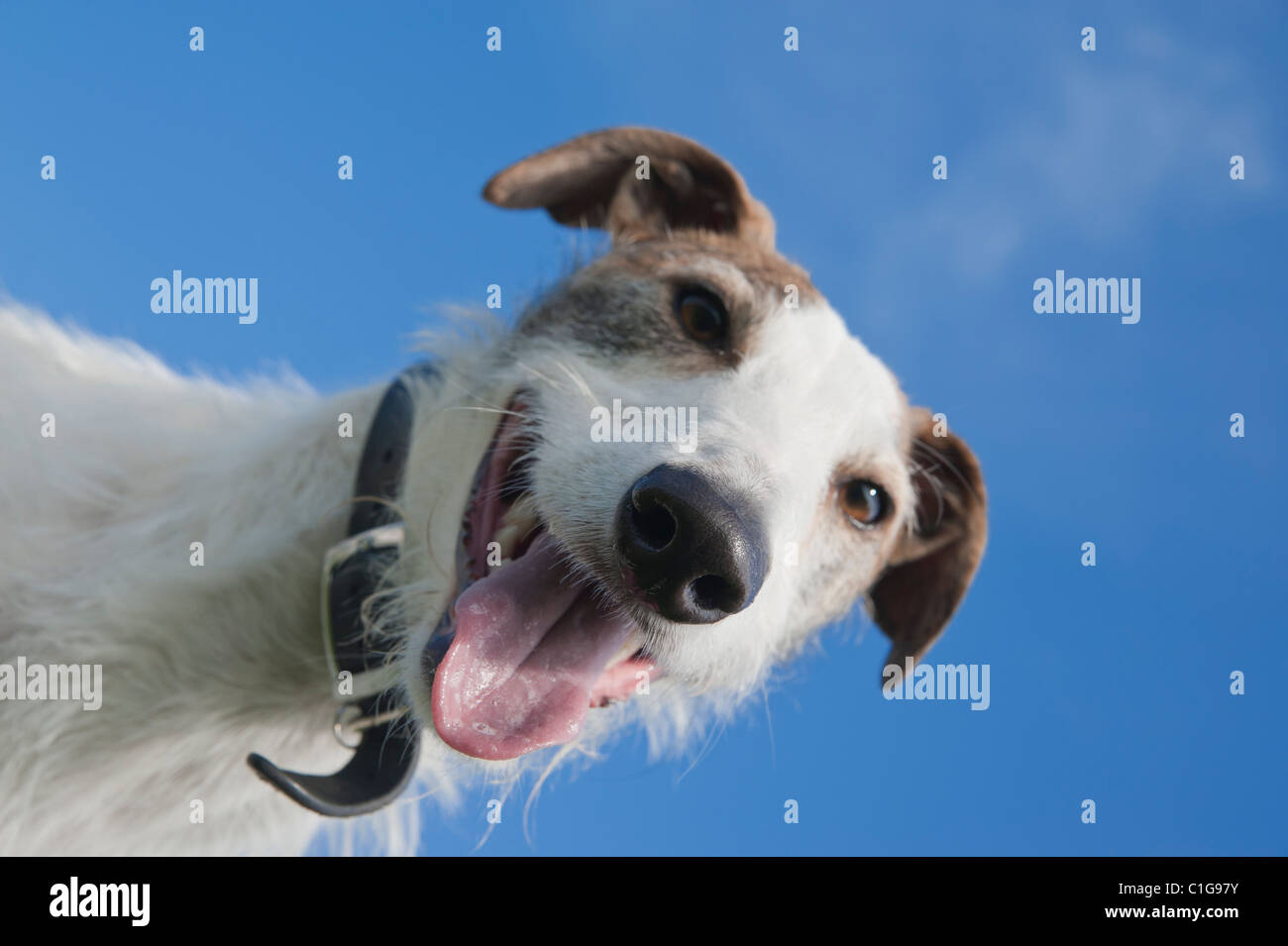 Panting lurcher looking down - Stock Image