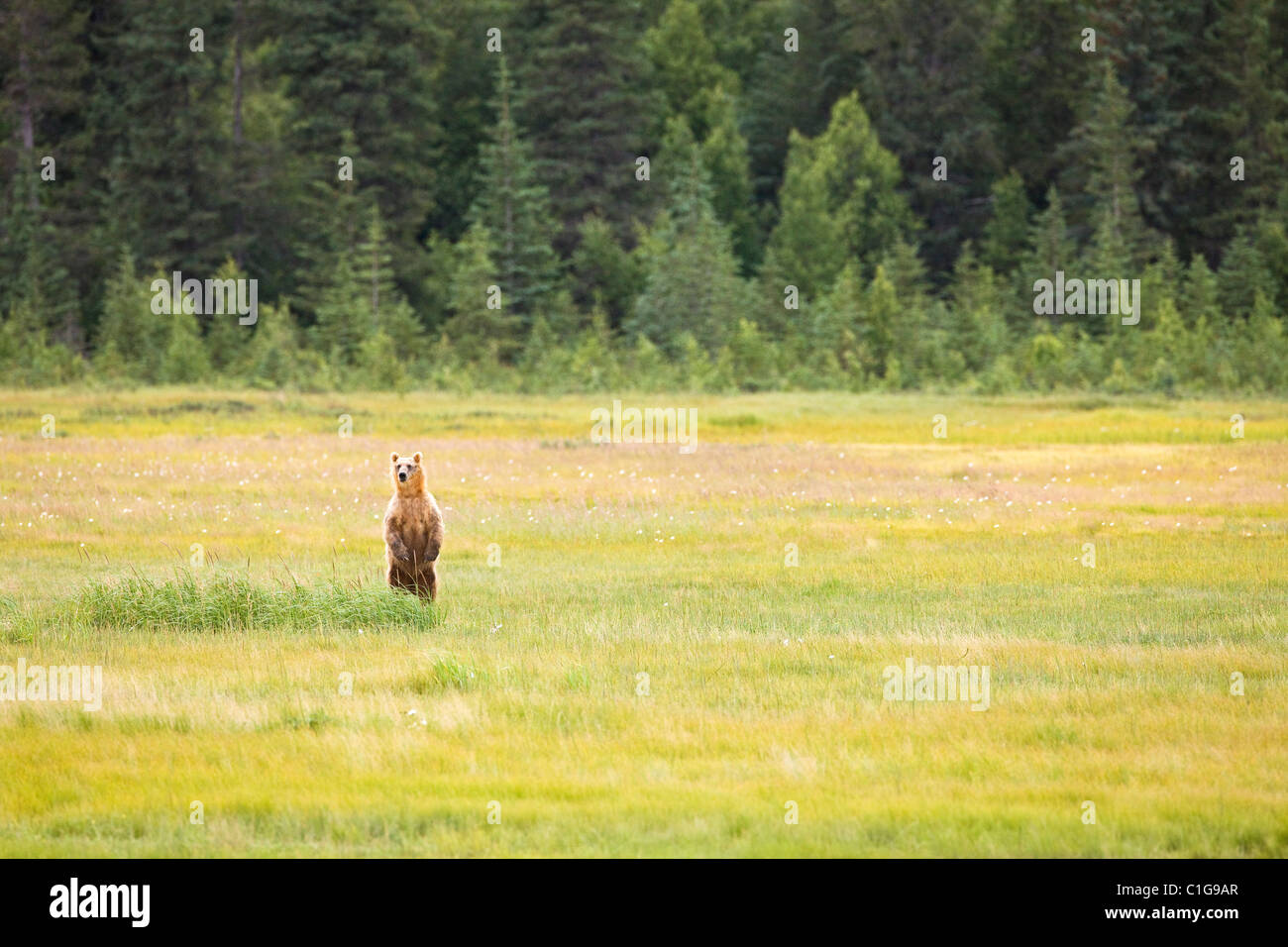 Brown bear standing on hind legs in meadow looking for other bears in Chinitna Bay area of Lake Clark National Park, - Stock Image
