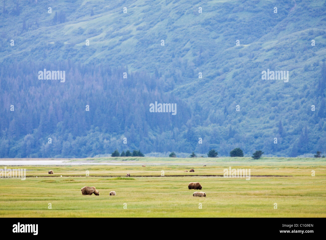 Brown bears and cubs eating sedge grass in a meadow near Horn Creek in Chinitna Bay area of Lake Clark National - Stock Image