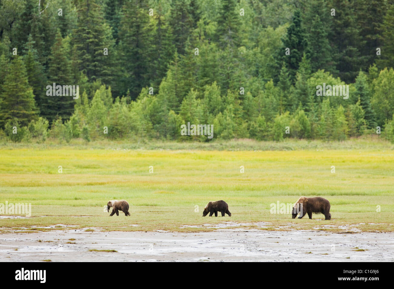 Brown bear sow and cubs eating sedge in a meadow along Horn Creek in Chinitna Bay area of Lake Clark National Park, Stock Photo