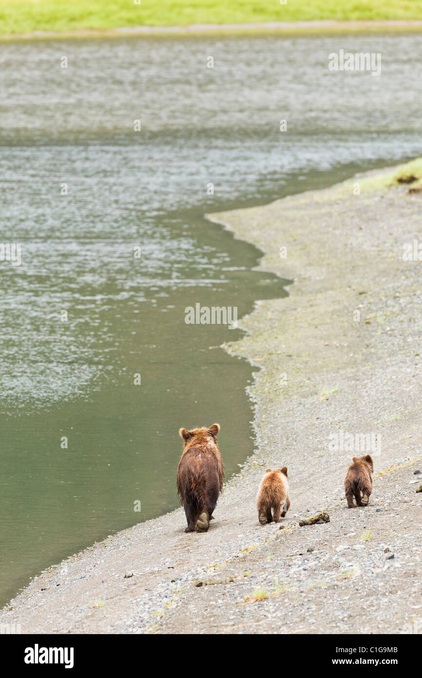 Sow brown bear and spring cubs looking for spawning salmon in Chinitna Bay area of Lake Clark National Park, Alaska. Stock Photo