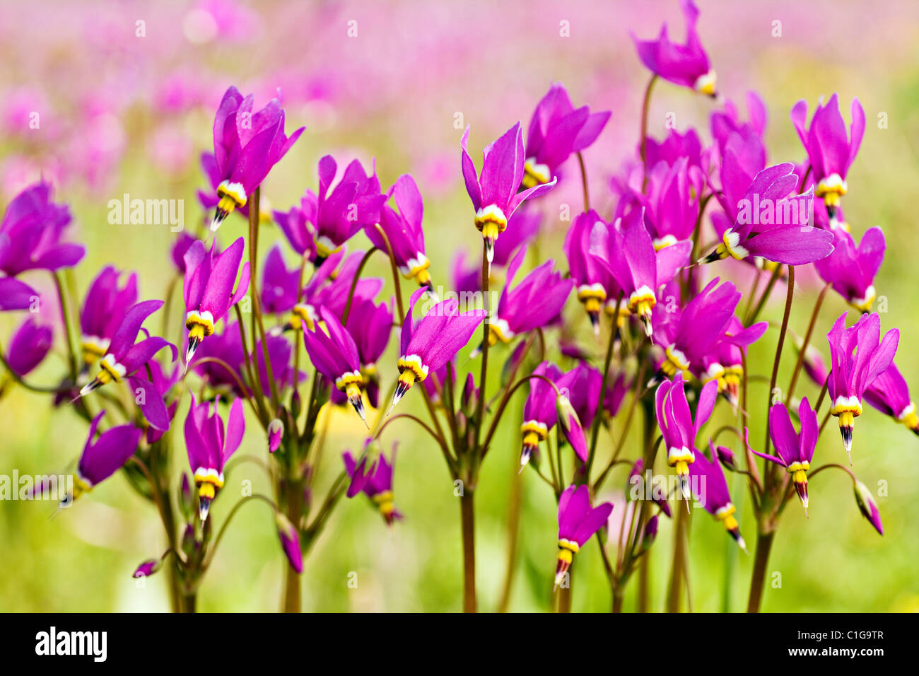 Closeup of Shooting Stars (Dodecatheon pulchellum) in late spring at Eklutna Flats in Southcentral Alaska. - Stock Image