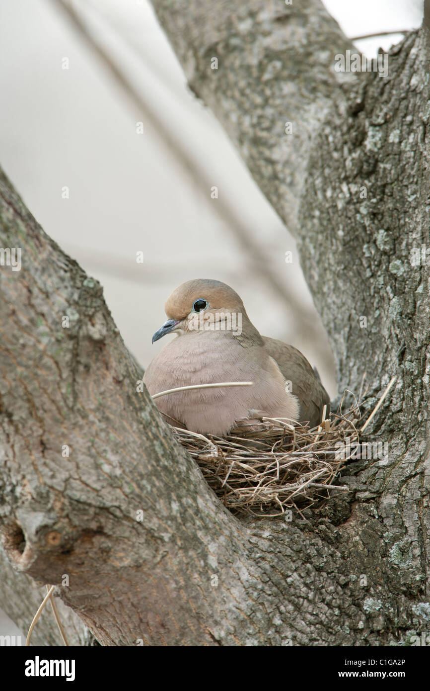 Mourning Dove on Nest - Stock Image