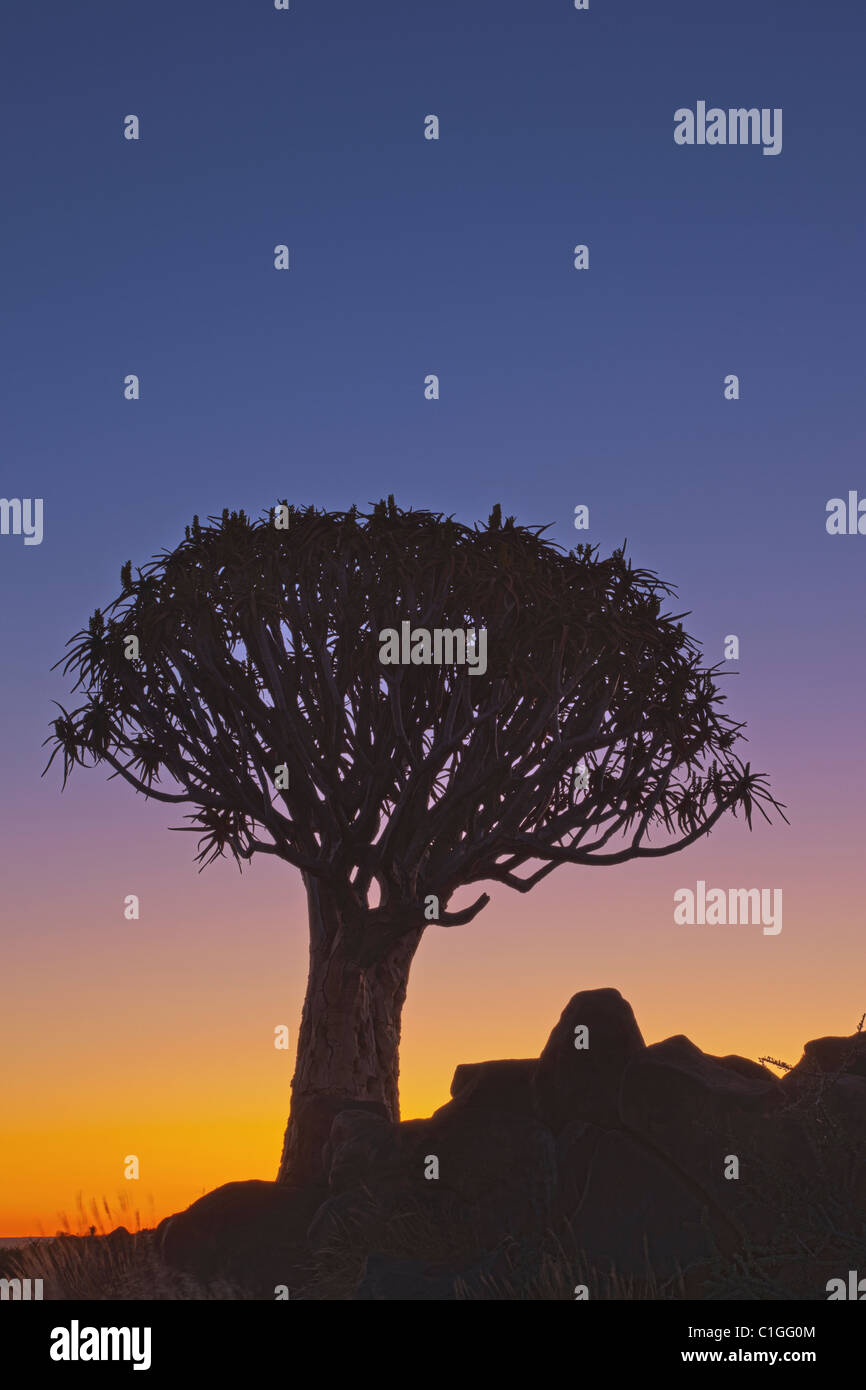 Quiver tree or Kokerboom (Aloe dichotoma) is a species of aloe indigenous to Southern Africa - Stock Image