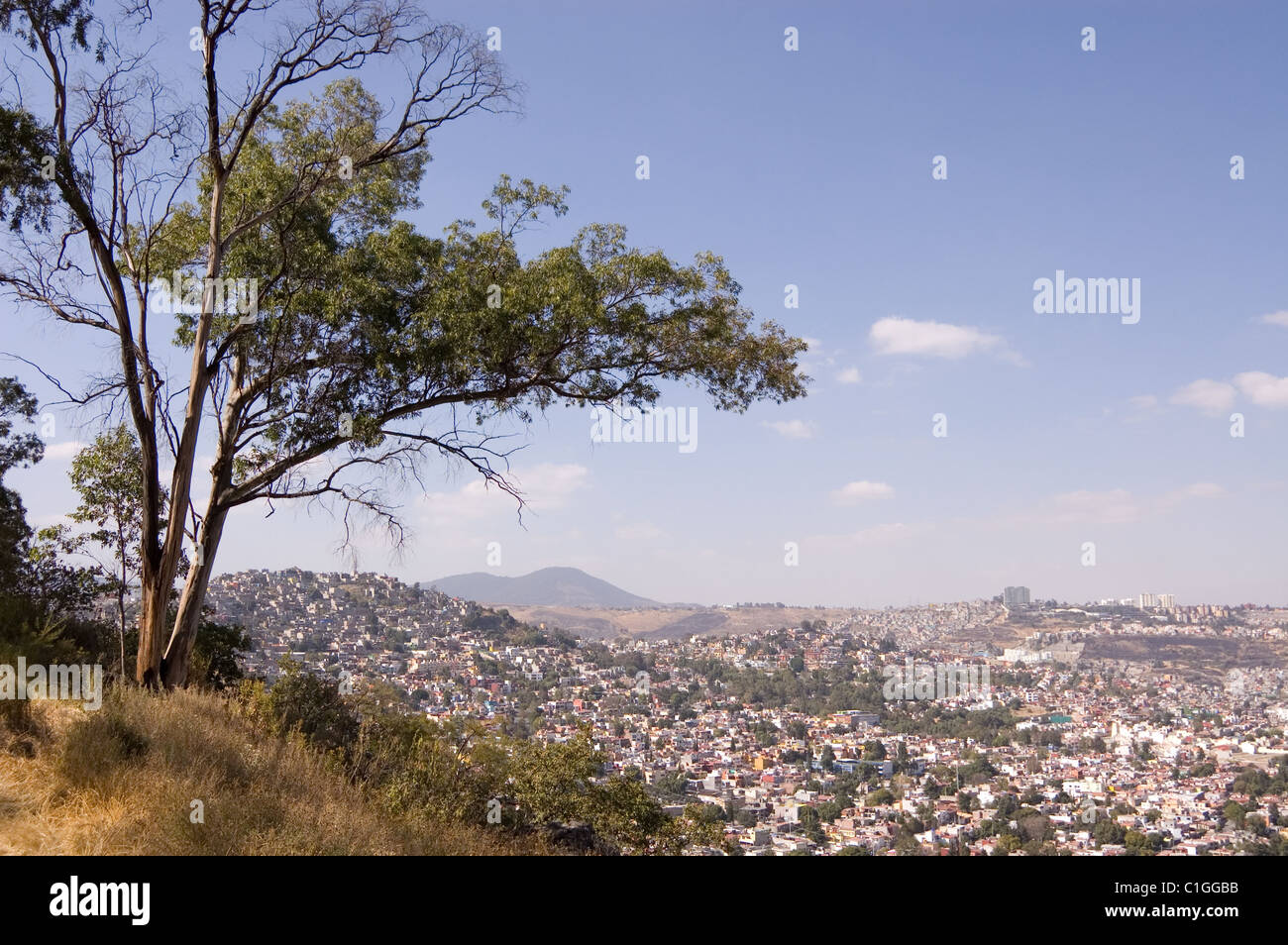 Eucalyptus globulus tree on a hill in Mexico city - Stock Image