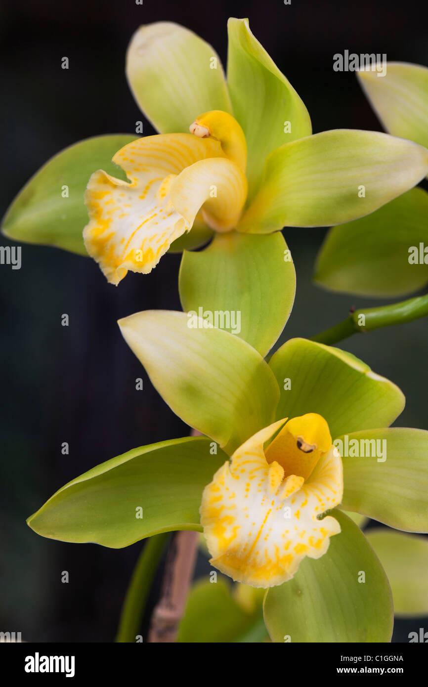 Orchidaceae Highland Surprise Wyanga - Stock Image