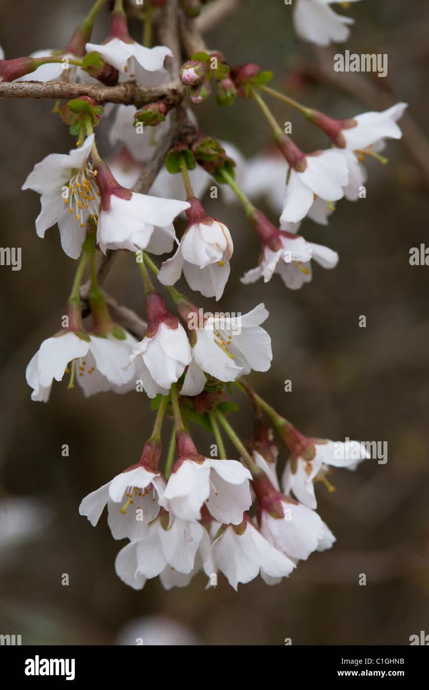 Prunus incisa 'Kojo-no-mai' Rosaceae - Stock Image
