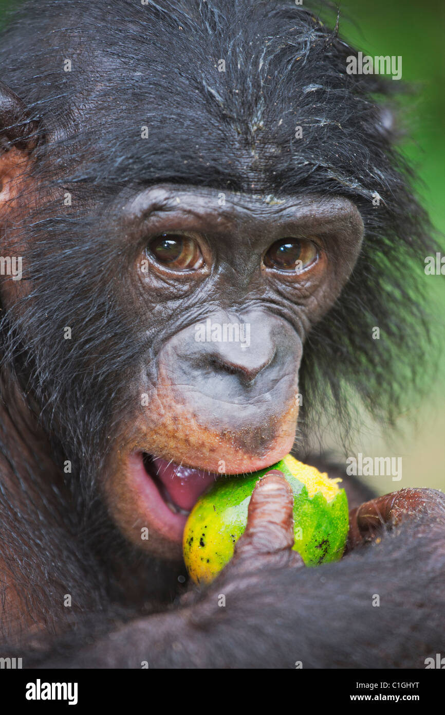 Portrait of Bonobo Chimpanzee at the Sanctuary Lola Ya Bonobo, Democratic Republic of the Congo - Stock Image