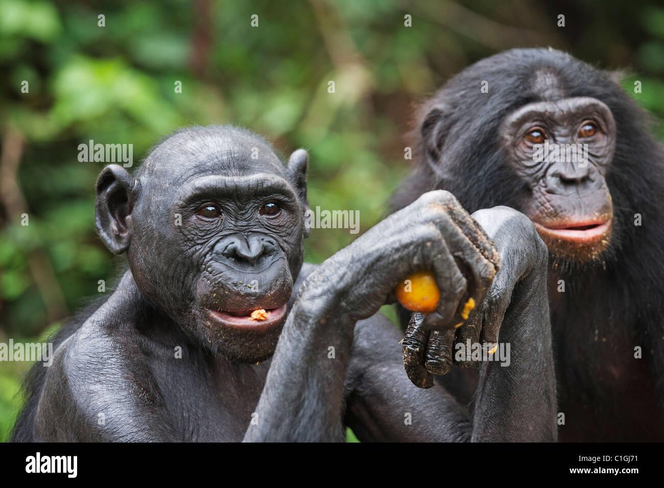 Bonobo Chimpanzee at the Sanctuary Lola Ya Bonobo, Democratic Republic of the Congo - Stock Image