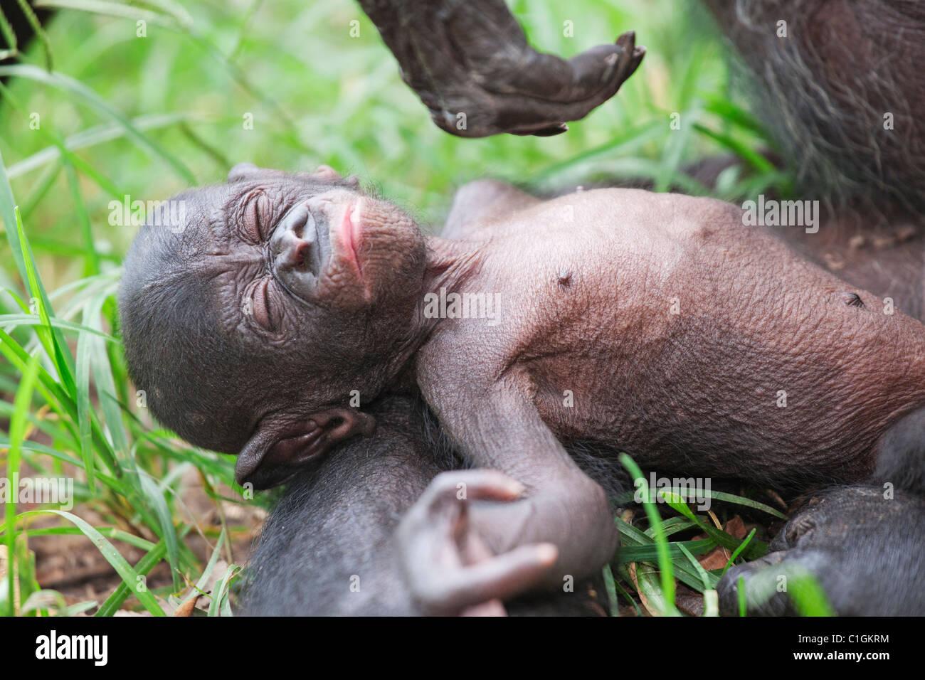Mother and baby Bonobo Chimpanzee at the Sanctuary Lola Ya Bonobo, Democratic Republic of the Congo - Stock Image