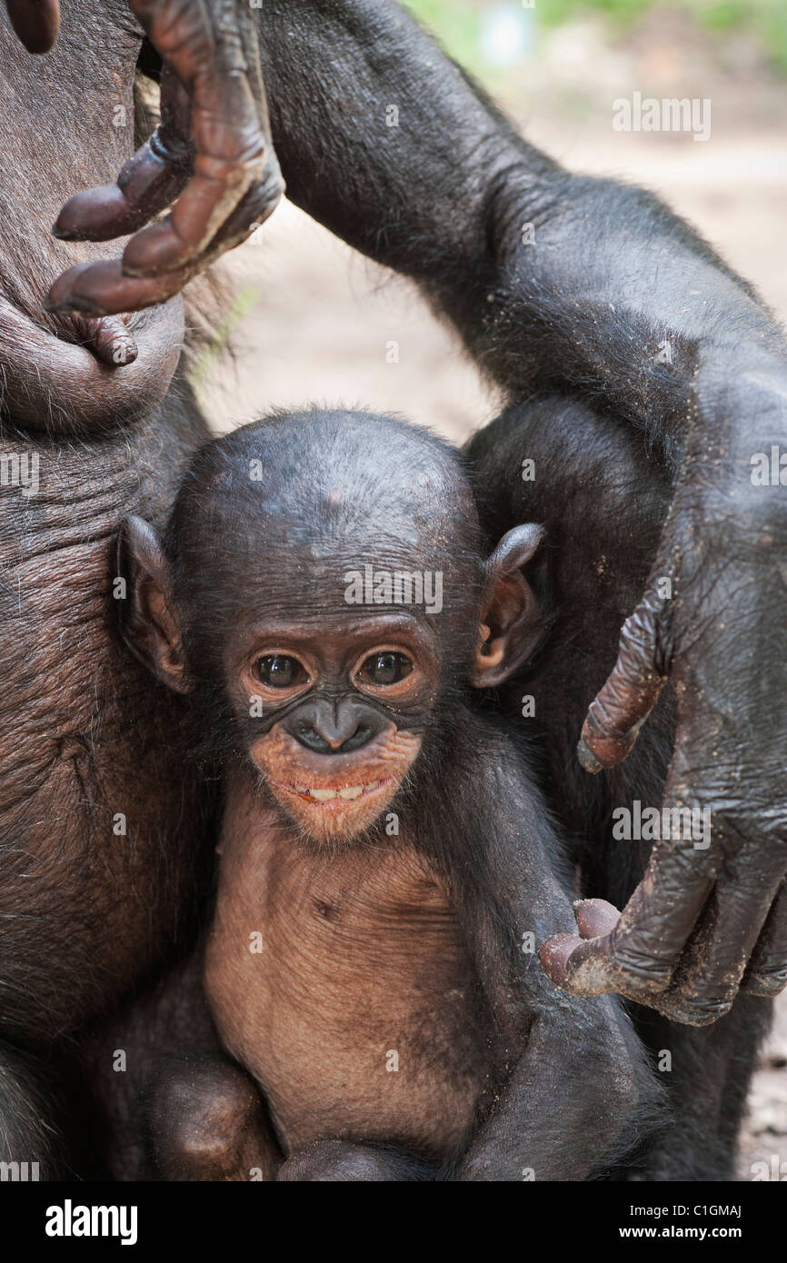 Mother and baby Bonobo Chimpanzee at the Sanctuary Lola Ya Bonobo, Democratic Republic of the Congo Stock Photo