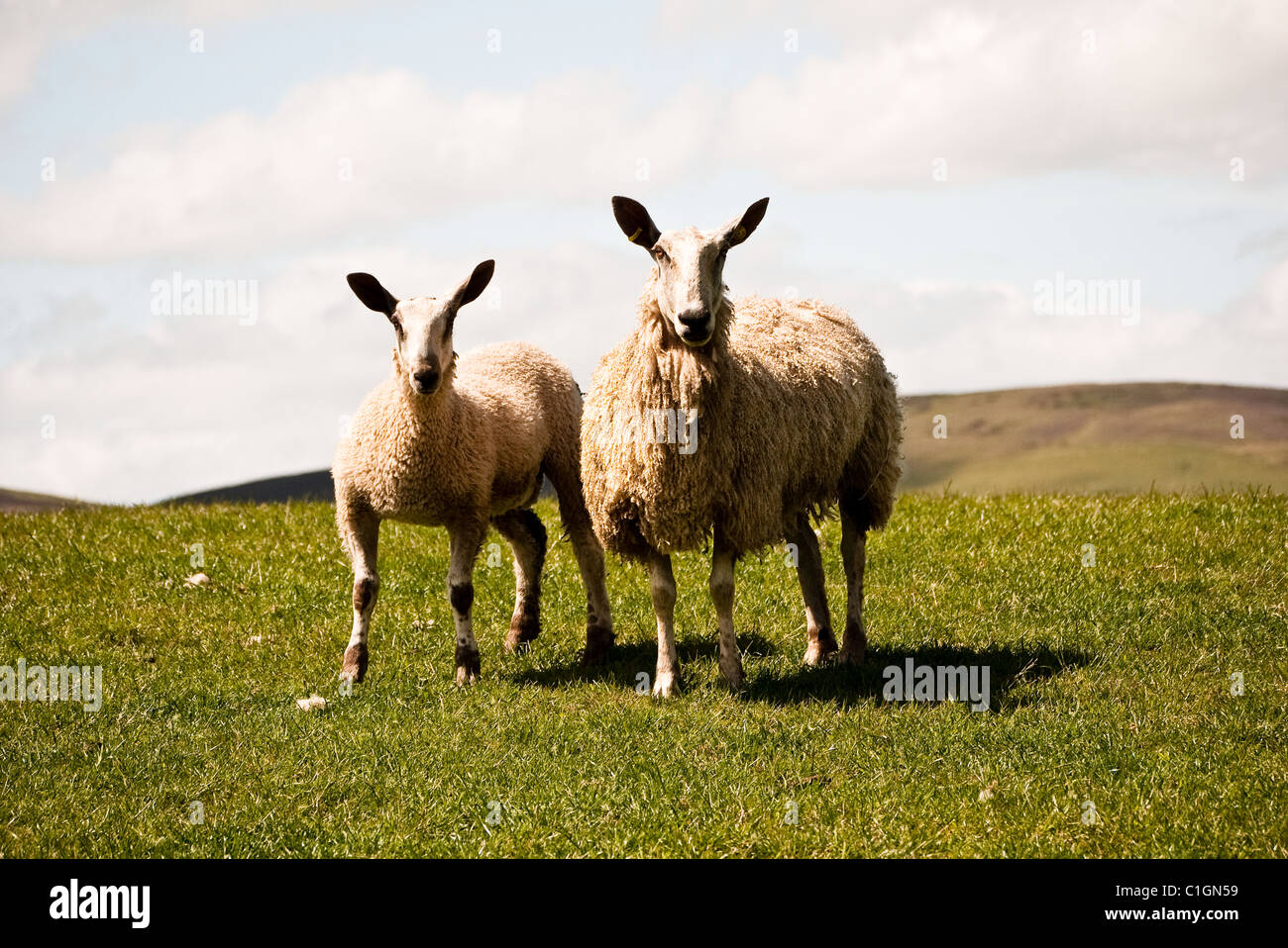 Bluefaced Leicester ewe & lamb - Stock Image