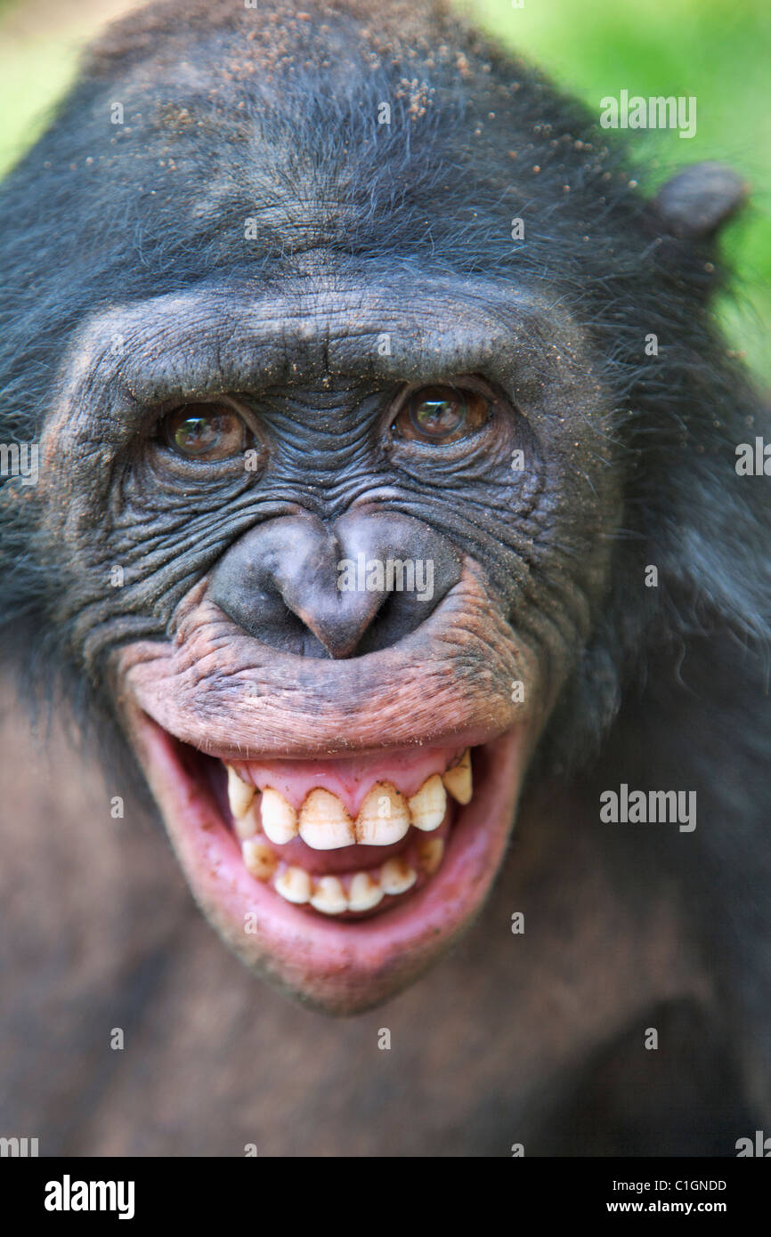 Adult Bonobo Chimpanzee at the Sanctuary Lola Ya Bonobo, Democratic Republic of the Congo - Stock Image