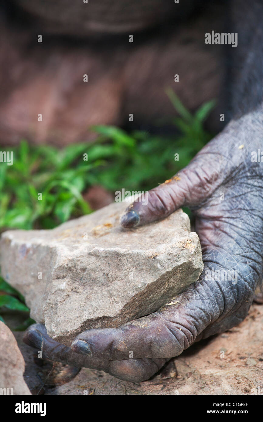 Bonobo Chimpanzee at the Sanctuary Lola Ya Bonobo, DRC. Hands and feet have opposable digits for tool use - Stock Image