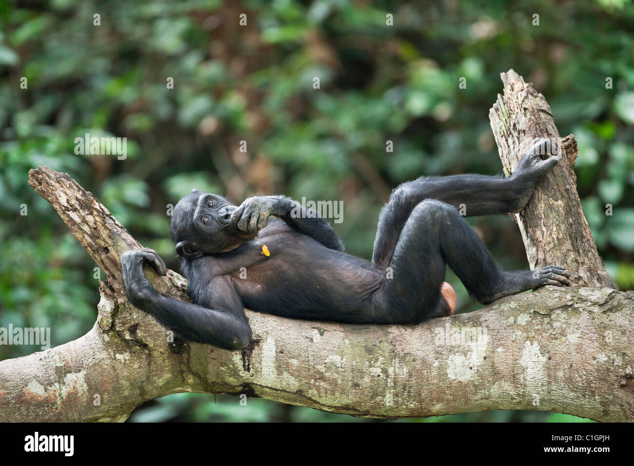 Bonobo Chimpanzee at the Sanctuary Lola Ya Bonobo, Democratic Republic of the Congo - Stock Image