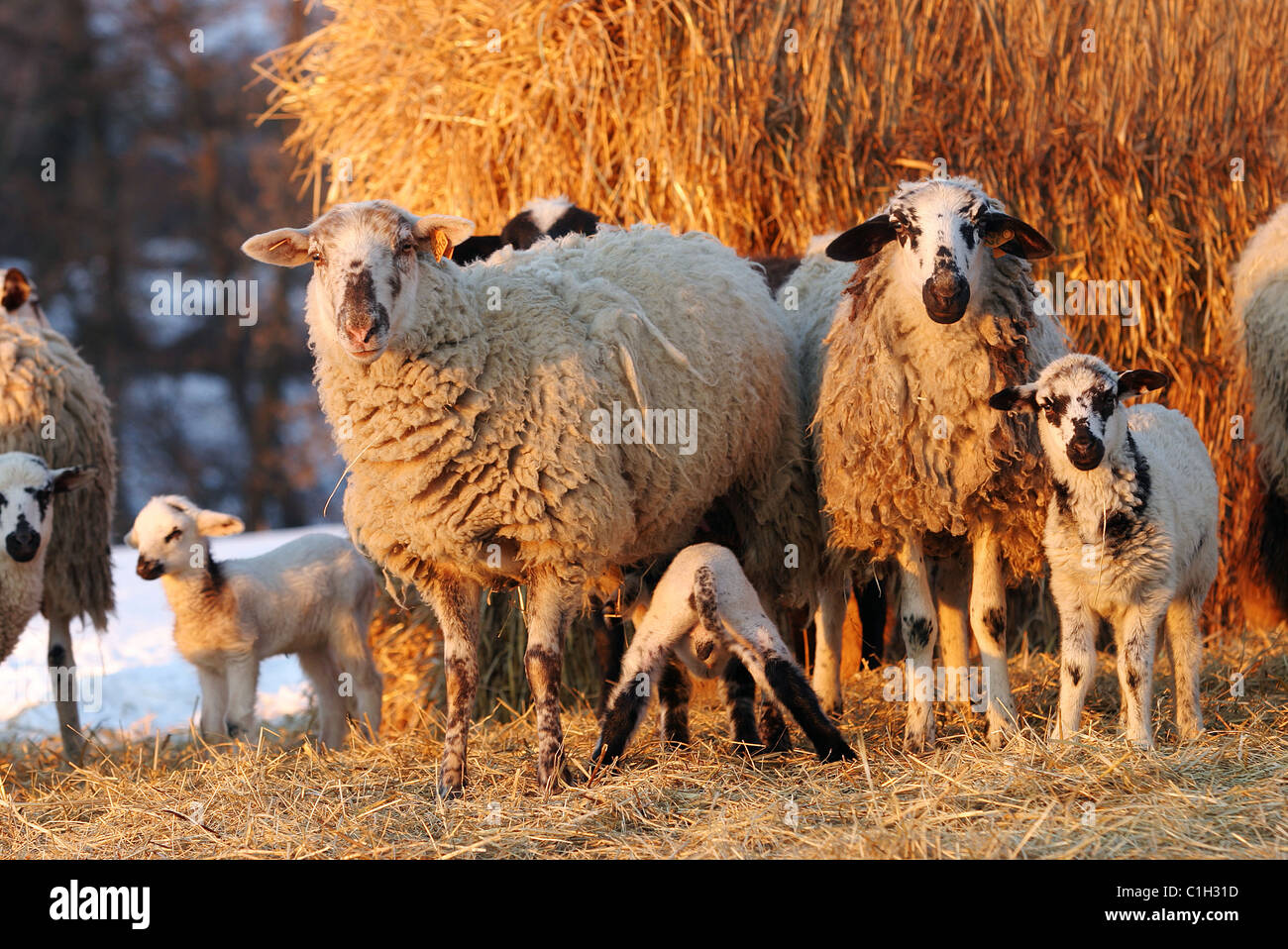 France, ewes and lambs - Stock Image