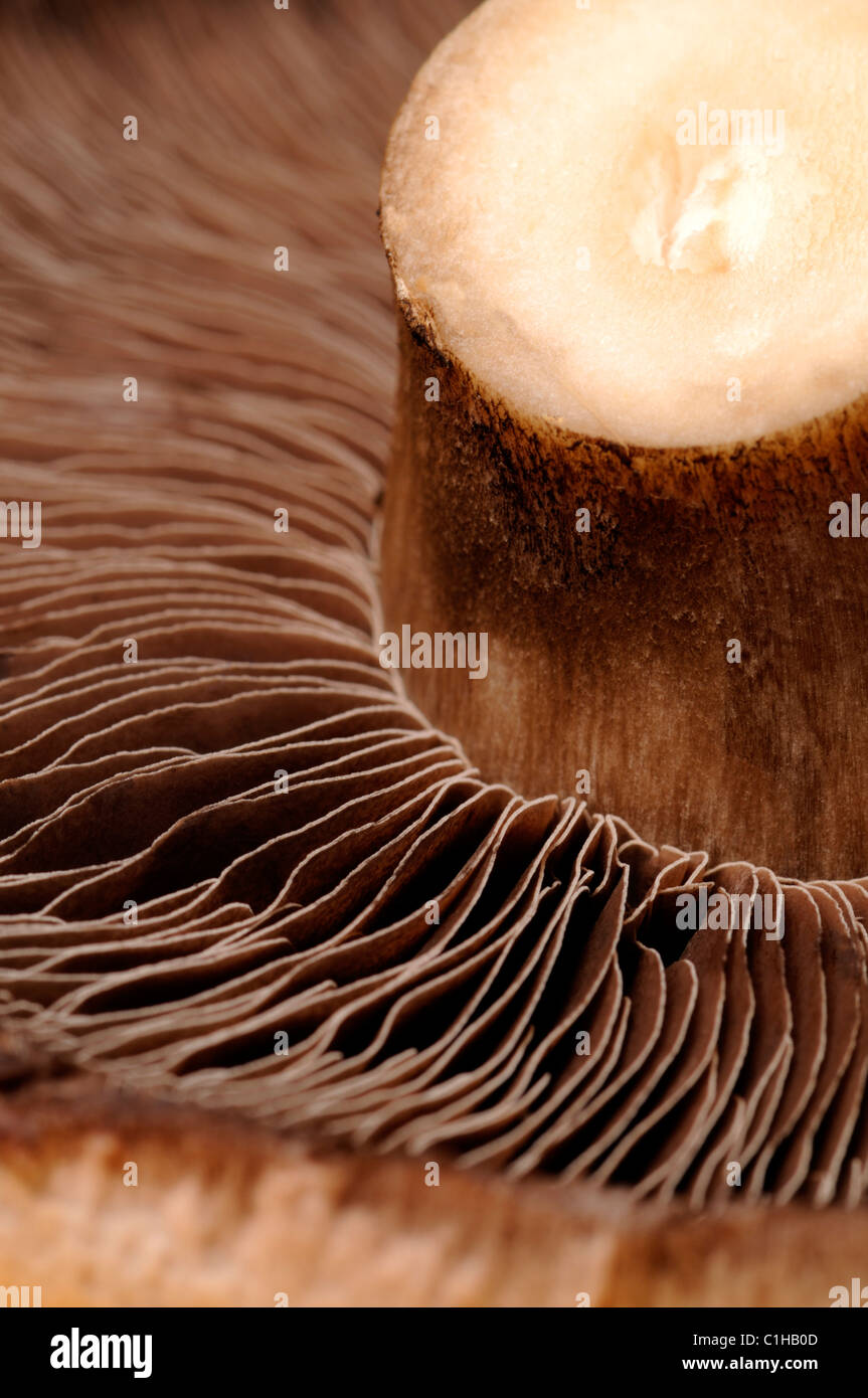 Large field mushroom - underside showing spores - Stock Image