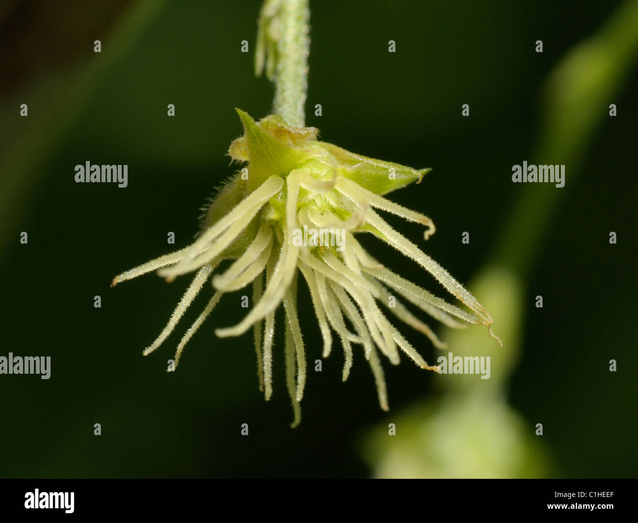 Female Hop flower, humulus lupulus - Stock Image
