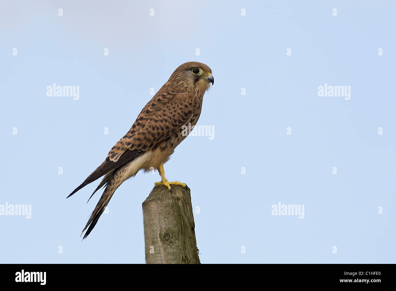 Kestrel female Falco Tinnunculus perched on a wooden stake and taken under controlled conditions against blue sky - Stock Image