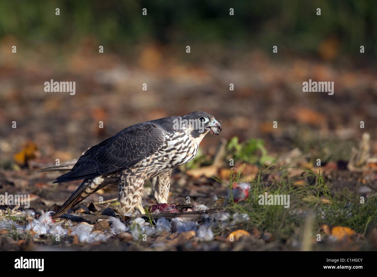 Peregrine Falcon with prey - Stock Image