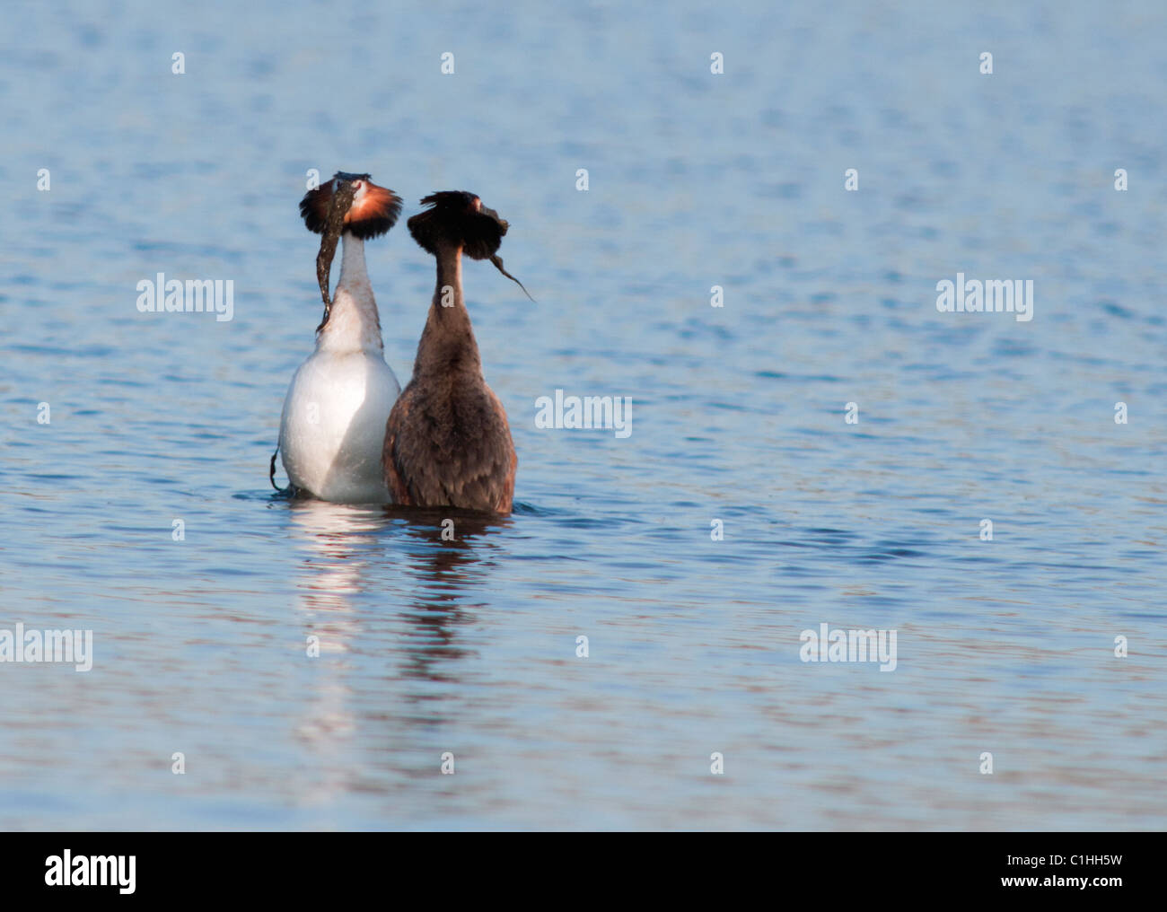 Great Crested Grebes Podiceps cristatus in courtship display performing weed dance - Stock Image