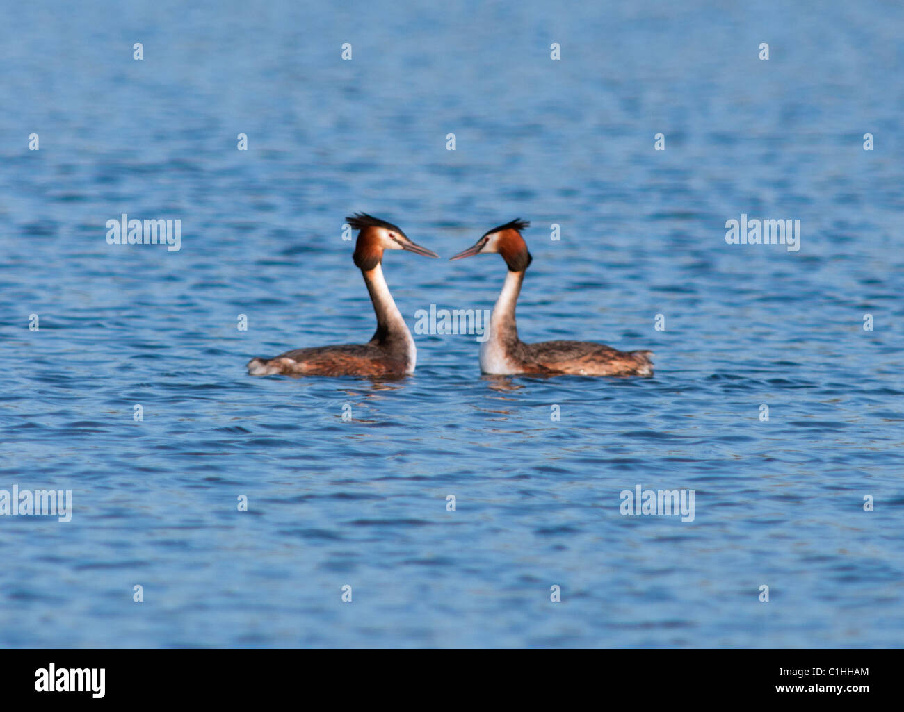 Great Crested Grebes (Podiceps cristatus) in courtship display - Stock Image