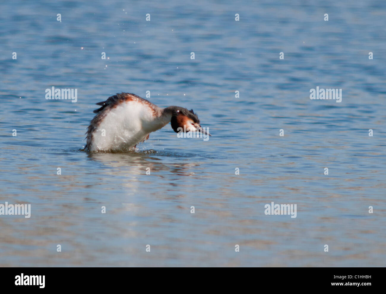 Great Crested Grebe (Podiceps cristatus) displaying to rival - Stock Image