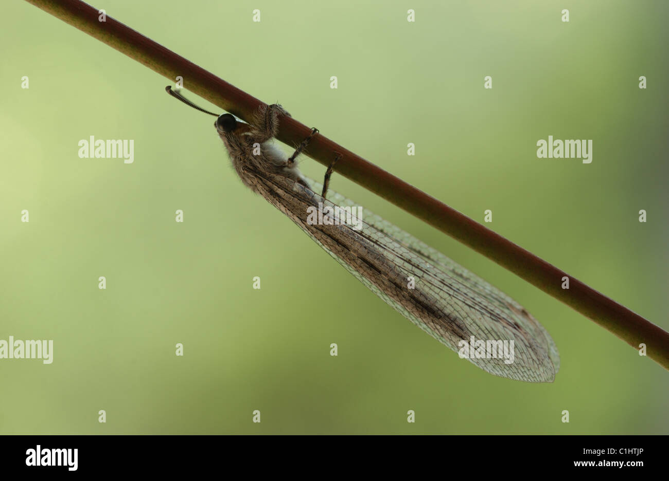 The insect order Neuroptera, or net-winged insects, includes the lacewings - Stock Image