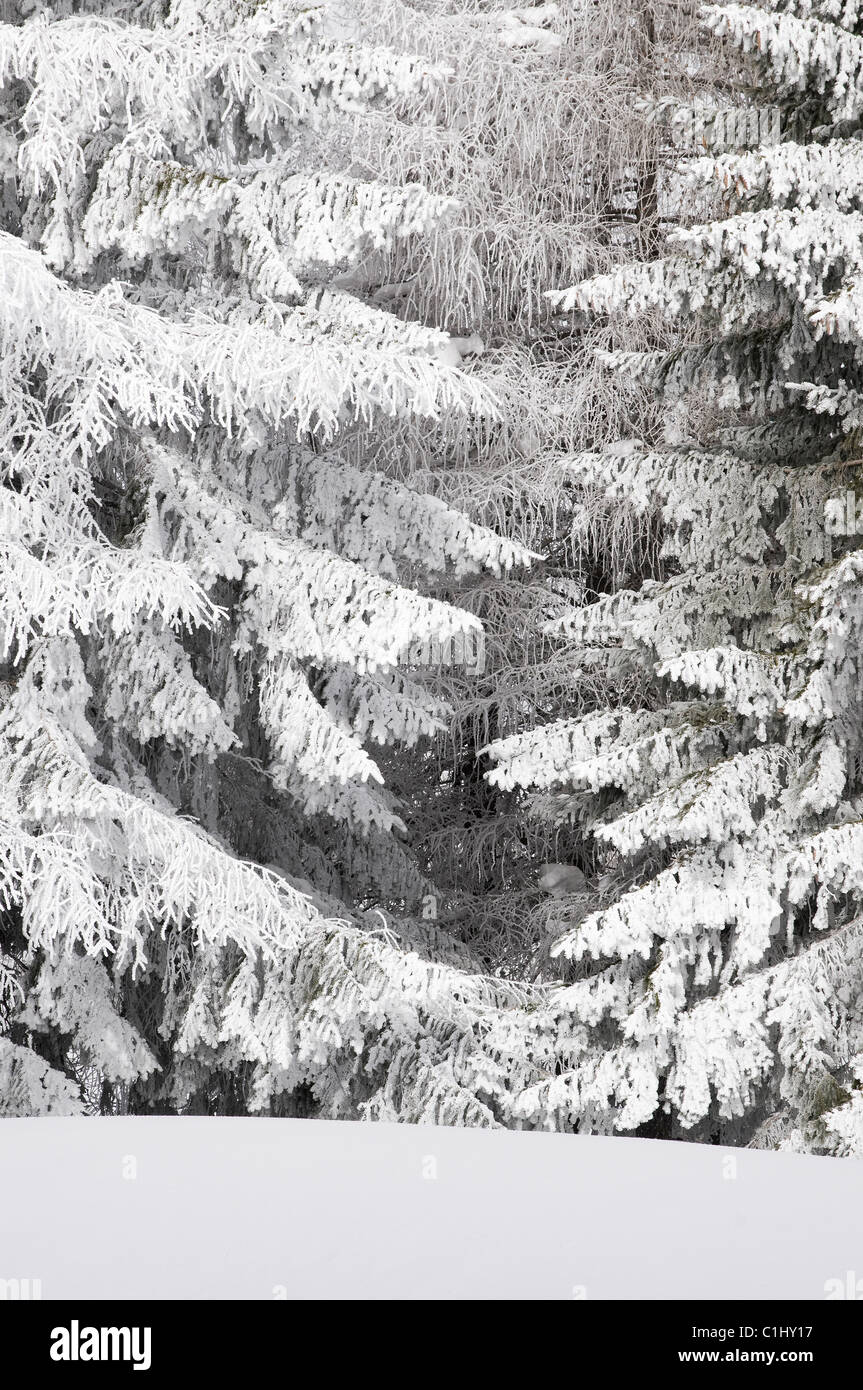 snow covered fir trees - Stock Image