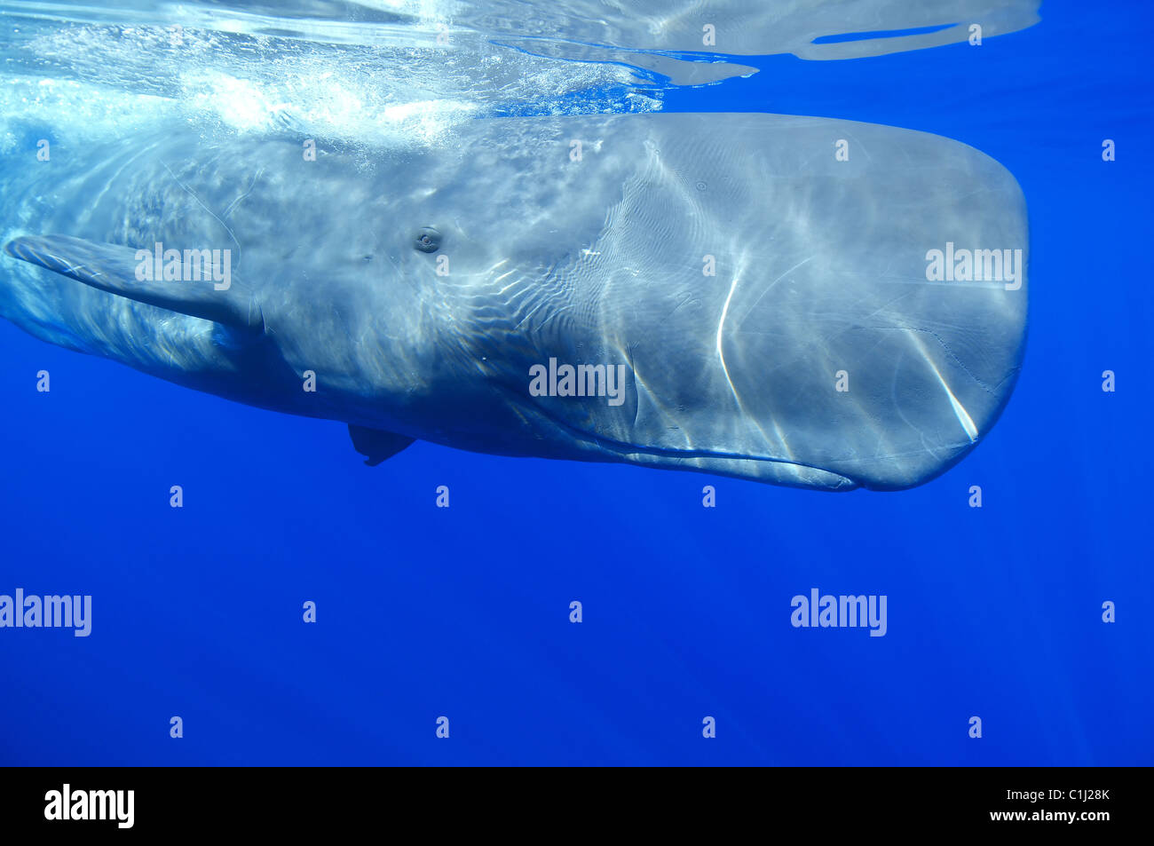 sperm whale - Stock Image