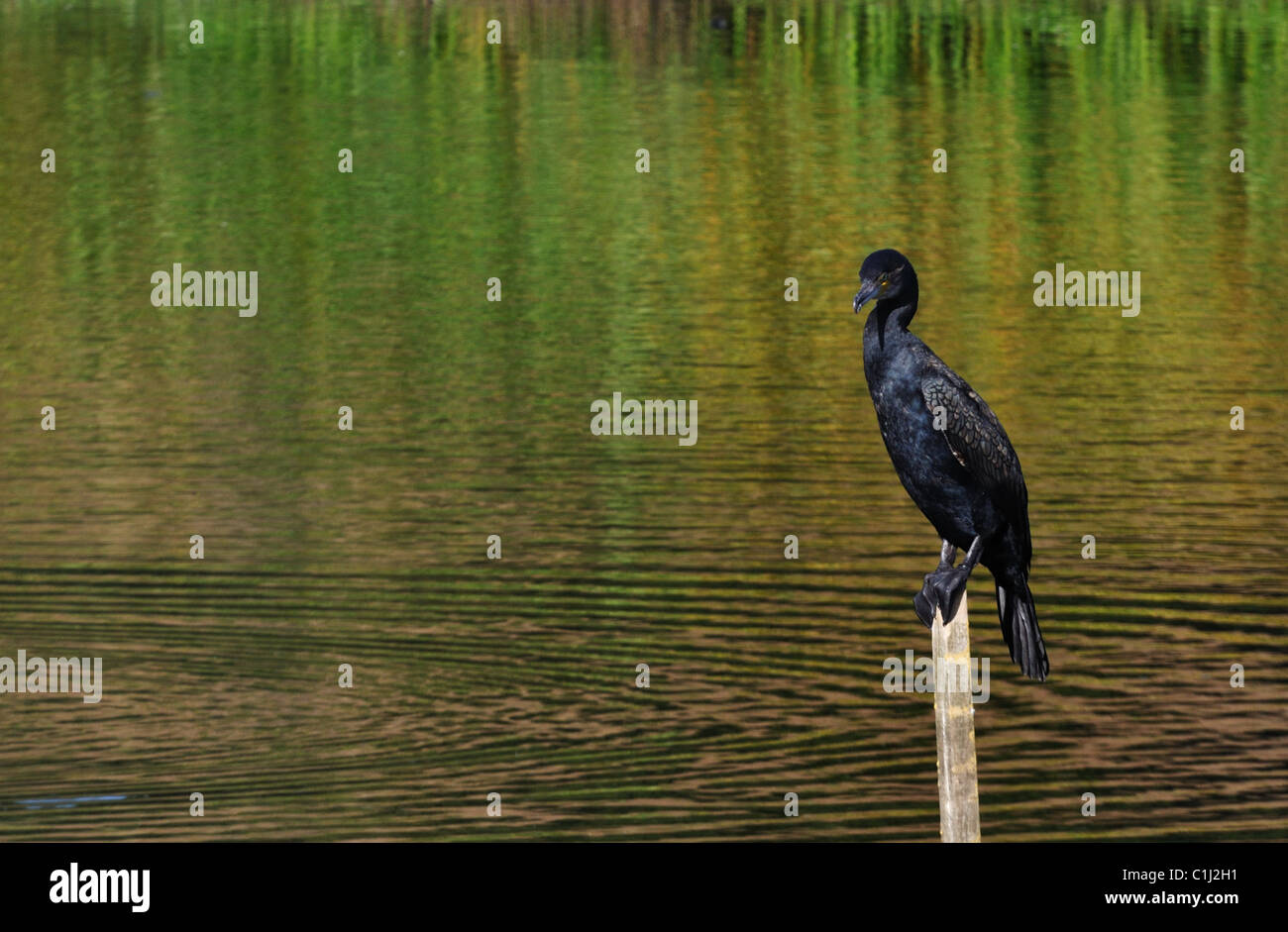 Solitary Cormorant sat on a post - Stock Image