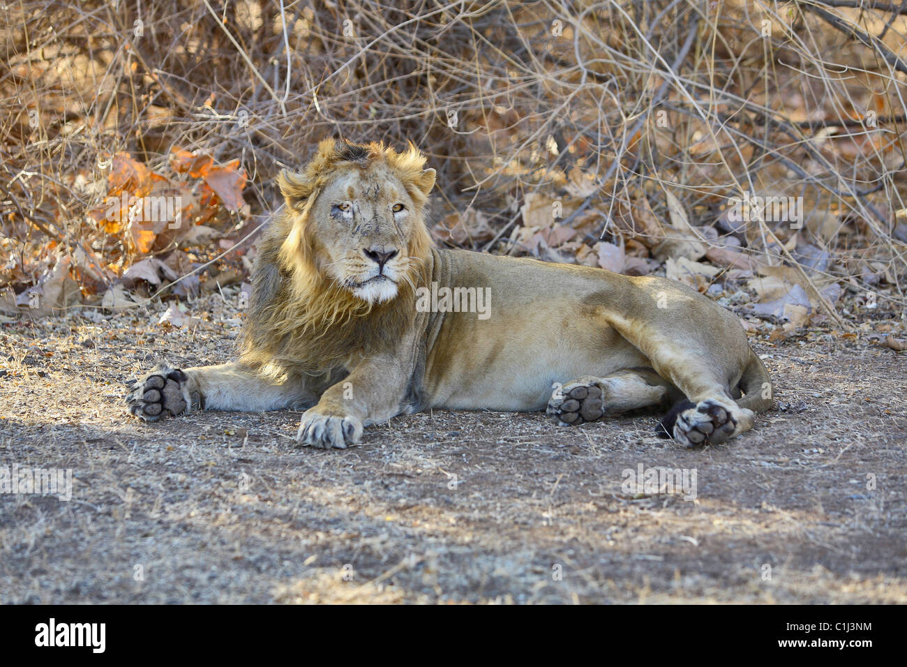 Asiatic Lion (Panthera leo persica) sitting in the forest at Gir National Park Gujrat India - Stock Image