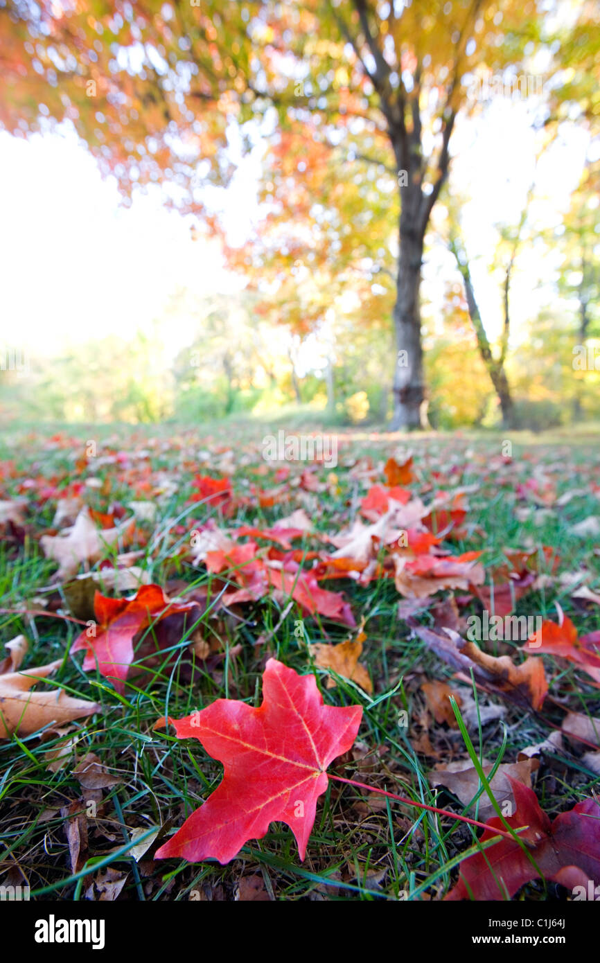 A maple tree turned golden yellow / orange in autumn with one bright red leaf in the foreground. - Stock Image