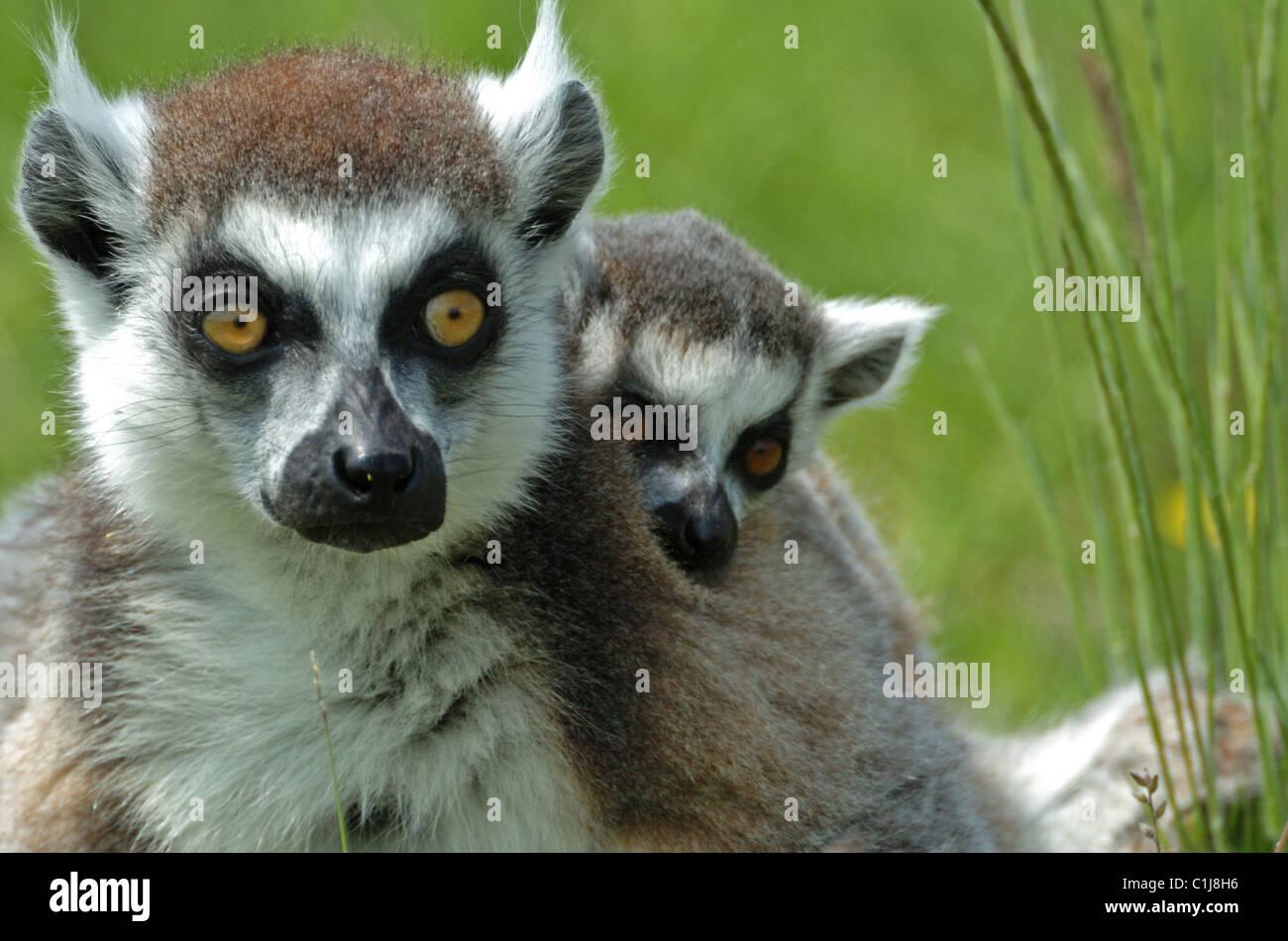 Close up Ring-tailed Lemur  (Lemur tardigradus) with young Stock Photo