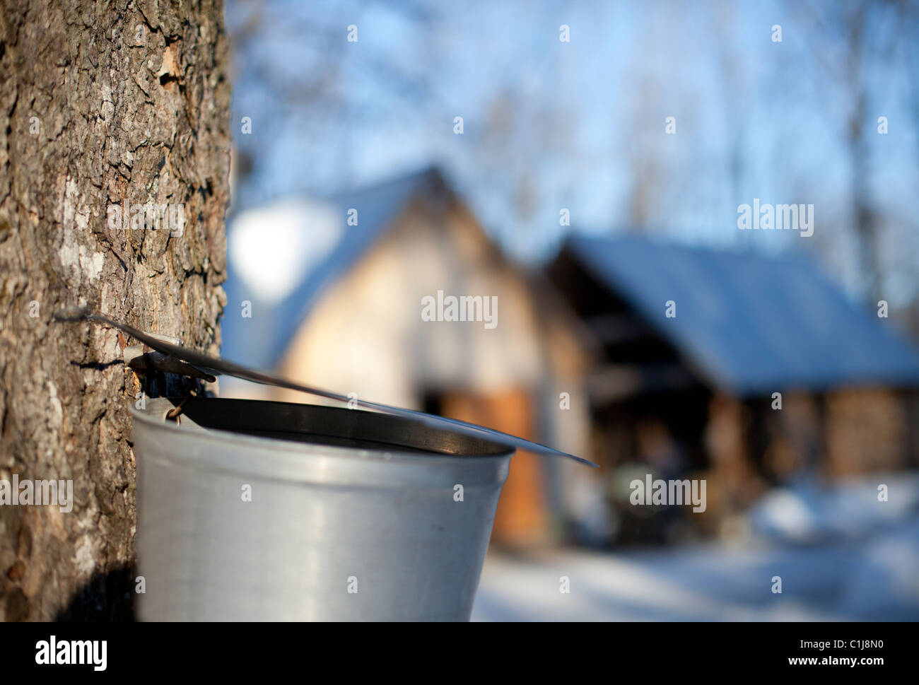 Maple Sap Dripping into Bucket, Sugar shack, Beauce, Quebec, Canada - Stock Image