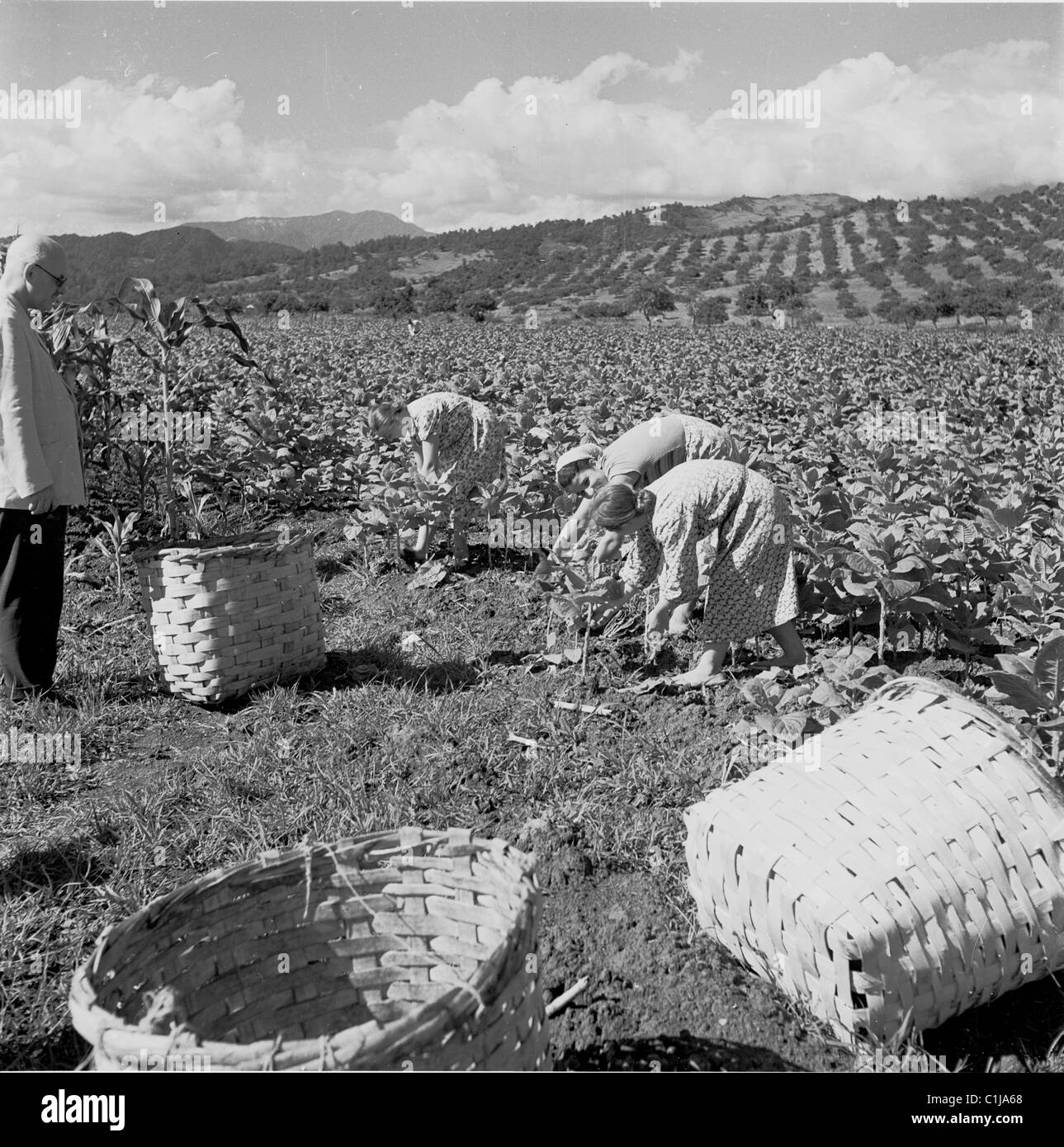 1950s. Historical picture of an Inspector checking the work of women labourers collecting tobacco leaves in Gagra, - Stock Image