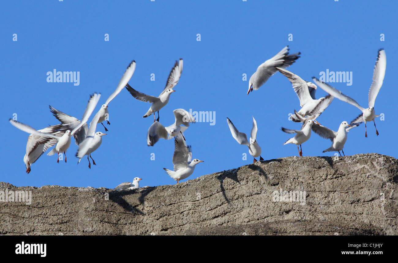 A group of seagulls flying. - Stock Image
