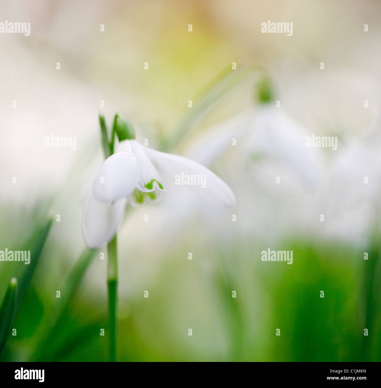 Gwynedd, North Wales, UK, Europe. Close-up of a wild Snowdrop flowers (Galanthus nivalis) in winter - Stock Image