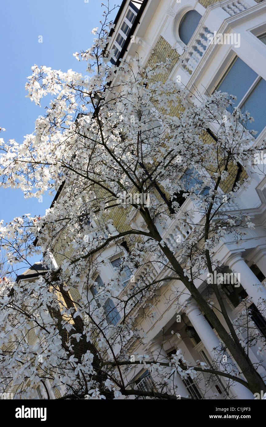 Beautiful Early Spring Royal Star Magnolia Tree In Bloom Captured